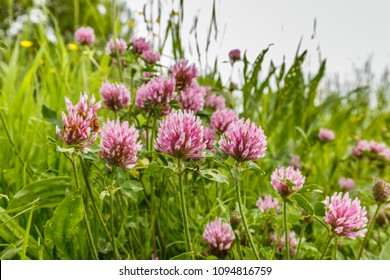 Close up wild red clover, Trifolium pratense, a perennial and common in Europe especially in natural meadows, fallow land and extensively managed meadows