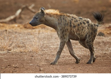 Close up wild Spotted hyena, Crocuta crocuta with upright mane and tale, low angle photo. Hyena on dry savanna against blurred background. Kruger National Park, South Africa. Side view.