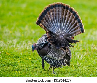 Close up wild turkey gobbler strutting his tail feathers.