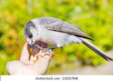 A close up of a wild Whiskey Jack in Strathcona Park, Vancouver Island, British Columbia, eating seeds from a hikers hand.