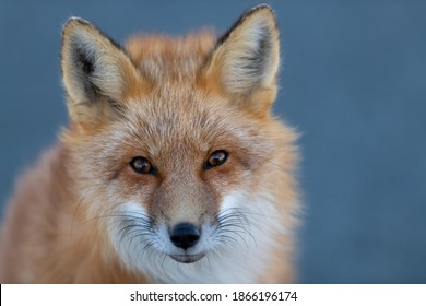 A close up of a wild young red fox's head staring forward with piercing eyes. The animal has pointy ears, a black muzzle, a fluffy red fur cat, and a cute look on its face. The background is blue.