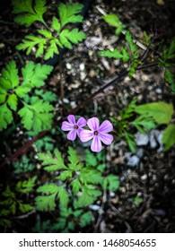 Close up of wildflowers Herb Robert (Geranium robertianum)