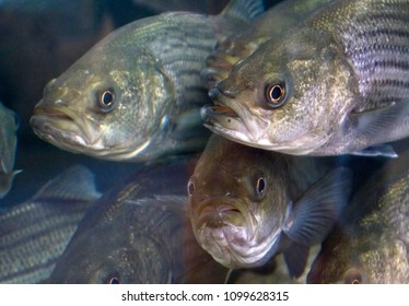Close up of the wildly expressive faces of striped bass swimming together in a dense crowd