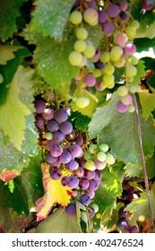 Close up Wine Grapes on the Vine. Wine culture.