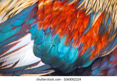 Close up of the wing of the domestic rooster