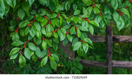 Close up of a winterberry bush with green leaves and red berries in front of an old wooden fence