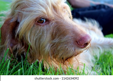Close up of wired hair Vizsla breed of dog laying grass