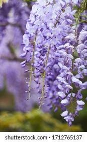 Close up of wisteria plant, beautiful purple spring plant