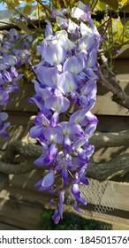 Close up of wisteria vine flowers