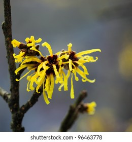 close up of the witch hazel in full bloom in february
