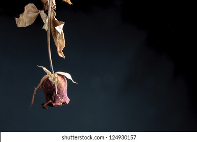 Close up of withered rose