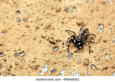 close up Wolf Spiders .