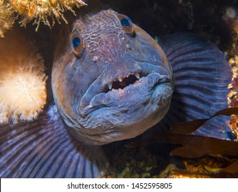 Close up of a Wolffish, St Abbs, Scotland.