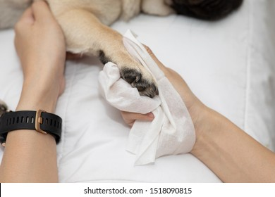 Close up woman hand clean and wash dog paw pug breed for cleanning around paw by tissue,Dog Care Concept