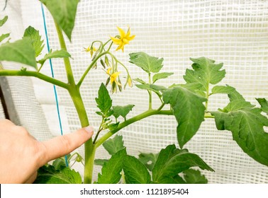 Close up of woman hand point out the excessive shoot that grow on tomato plant stem in greenhouse and pinch it off, so tomato plant gets more nutrition from soil to grow tomatoes.