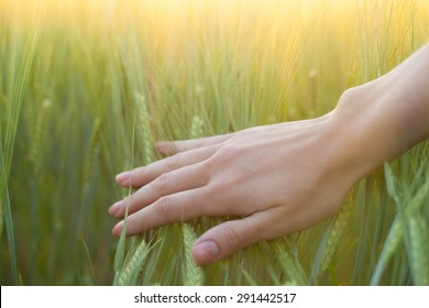 close up of a woman's hand touching green wheat ears