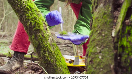 Close up woman's hands in protective gloves. Scientist ecologist in the forest taking samples of the moss with tweezers