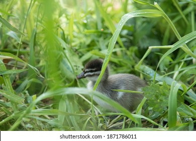 Close up Wood duck chick in the green