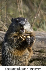 Close up of a woodchuck eating a peanut. The groundhog (Marmota monax), also known as a woodchuck or whistle-pig, or in some areas as a land-beaver is a rodent of the family