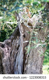 Close up of a wooden olive tree