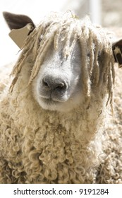 A close up of a woolly sheep's face