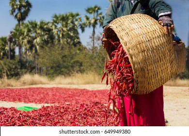 close up of worker picking up dry chilly on a field in Bagan, Myanmar