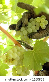 Close up of a workers gloved hand cutting a cluster of chardonnay grapes from the vine.
