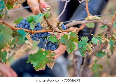 Close up of Worker's Hands Cutting Red Grapes from vines during wine harvest.