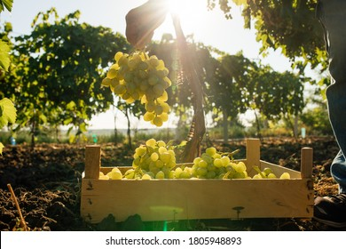 Close up of Worker's Hands Cutting White Grapes from vines during wine harvest in Italian Vineyard. picking the sweet white grape bunches - family business, tradition concept