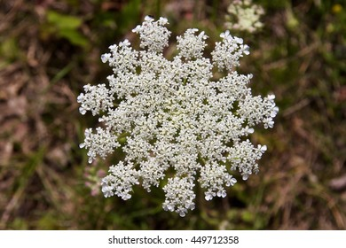 close up of a yarrow