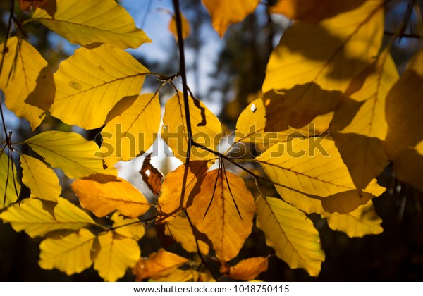 Close up of yello leaves in autumn forest