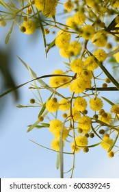 Close up of yellow acacia (mimosa) trees on the nature, Almeria,Spain