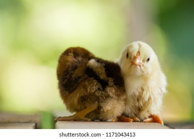 Close up yellow and brown chicks that attach together on wooden floor of hen house on natural or green background for concept design and decoration patterns