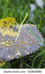 Close up of yellow and brown dry leaf on green grass