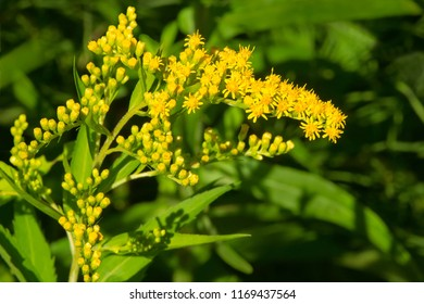 Close up of a yellow Canada Goldenrod flower. Todmorden Mills Park, Toronto, Ontario, Canada.