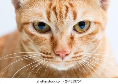 close up yellow cat face