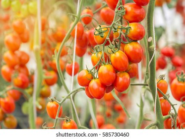 Close up yellow cherry tomatoes hanging on trees in greenhouse selective focus
