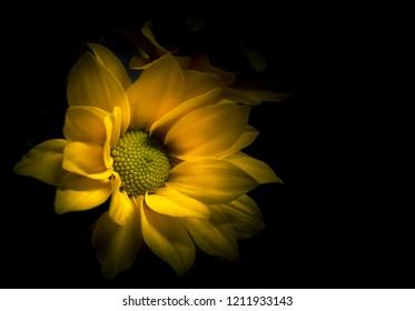 Close up yellow chrysanthemum flower in a dark tones background