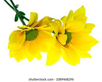 Close up yellow Chrysanthemum flower on white background.