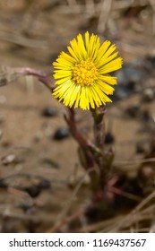 Close up of a yellow Colt's-foot flower. Presqu'ile Provincial Park, Brighton, Ontario, Canada.