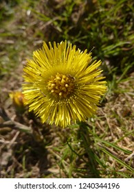 A close up of a yellow coltsfoot flower (Tussilago farfara) in spring