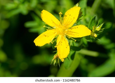 Close up of a yellow Common Saint John's Wort flower. Also known as Perforate St. John's-wort. Taylor Creek Park, Toronto, Ontario, Canada.