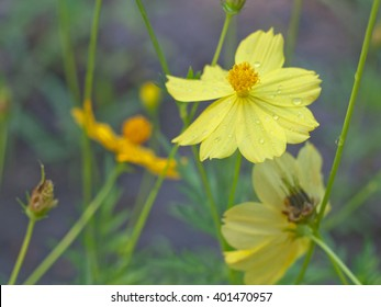 close up of yellow cosmos or cosmos flower - Shutterstock ID 401470957