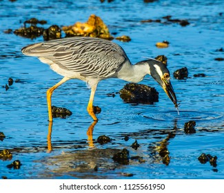 Close up of a Yellow Crowned Night Heron catching a small crab in the early morning light in the St. Lucie river in Stuart, Florida.