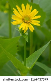 Close up of a yellow Cup Plant flower. Todmorden Mills Park, Toronto, Ontario, Canada.