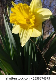 close up of yellow daffodil with blue sky