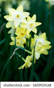 Close up of yellow daffodils flowers in spring. Floral texture. Soft focus. - Shutterstock ID 1603924168