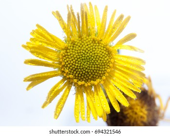 close up of yellow daisy sunflower wet water dew droplets in studio white background;