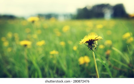 Close up of yellow dandelion on the meadow. Shallow depth of field