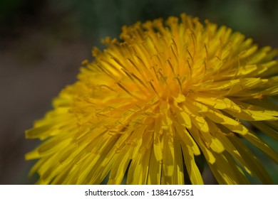 Close up of yellow dandelions in spring on the green field